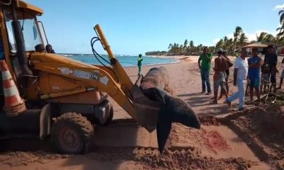 Baleia morre após encalhar na Praia de Jauá