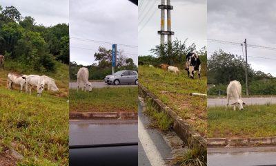 Tragédia anunciada: gado solto às margens da Cetrel pode provocar acidentes e vítimas fatais